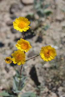 Leptosyne-californica-or-Coreopsis-californica-south-Joshua-Tree-NP-2017-03-24-IMG 4274