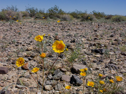 Leptosyne-californica-or-Coreopsis-californica-south-Joshua-Tree-NP-2017-03-24-IMG 7767