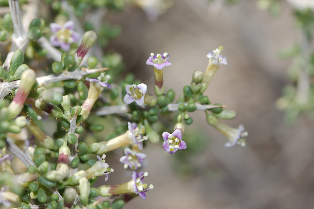 Lycium-andersonii-thornbush-Hidden-Valley-Joshua-Tree-NP-2017-03-25-IMG 4464