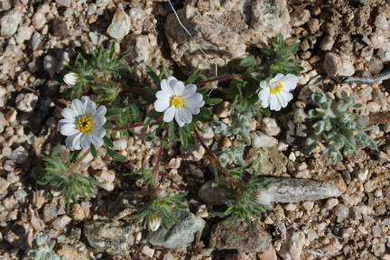 Monoptilon-bellioides-desert-star-Fried-Liver-Wash-Pinto-Basin-Rd-Joshua-Tree-NP-2017-03-16-IMG 4155