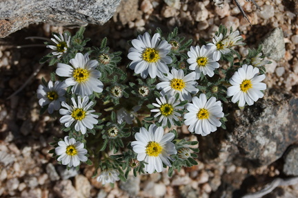 Monoptilon-bellioides-desert-star-Fried-Liver-Wash-Pinto-Basin-Rd-Joshua-Tree-NP-2017-03-16-IMG 4158