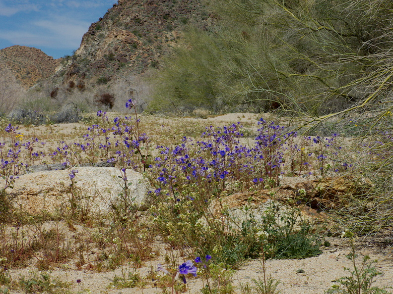 Phacelia-campanularia-desert-bluebells-flowering-in-wash-Cottonwood-Canyon-Joshua-Tree-NP-2018-03-15-IMG 7517