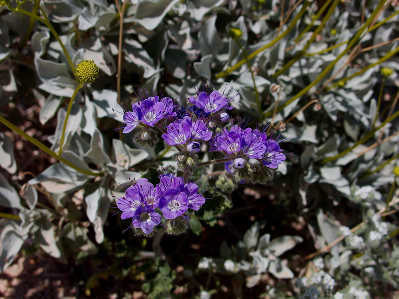 Phacelia-crenulata-notch-leaved-phacelia-Bajada-Nature-Trail-S-entrance-Joshua-Tree-NP-2017-03-14-IMG 7379