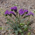 Phacelia-crenulata-notch-leaved-phacelia-Box-Canyon-Rd-S-of-Joshua-Tree-NP-2018-03-15-IMG 7550