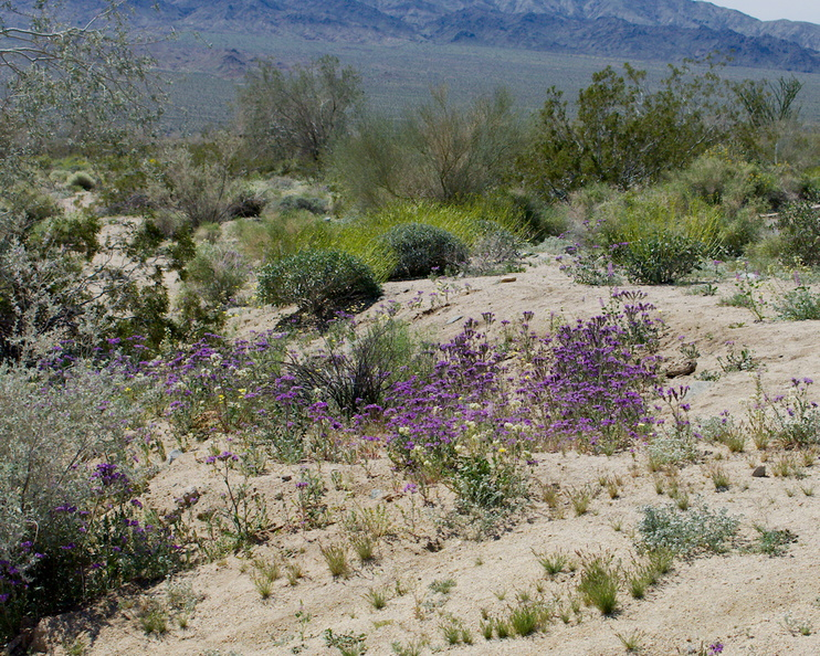 Phacelia-crenulata-notch-leaved-phacelia-flowering-in-wash-Bajada-Nature-Trail-S-entrance-Joshua-Tree-NP-2017-03-14-IMG_7381.jpg