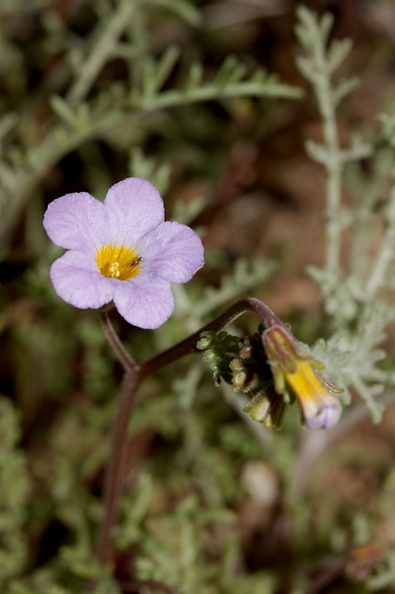 Phacelia-fremontii-yellow-throats-Barker-Dam-trail-Joshua-Tree-NP-2018-03-15-IMG 3944