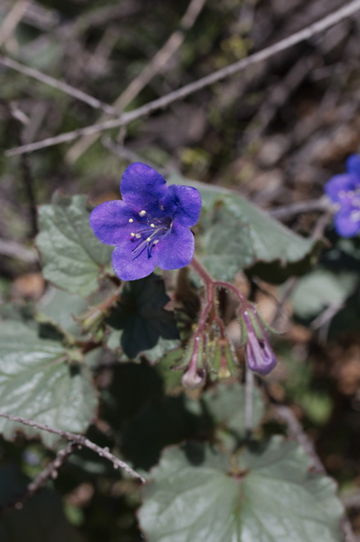 Phacelia-sp-maybe-campanularia-Cottonwood-Spring-Joshua-Tree-NP-2017-03-14-IMG 3853
