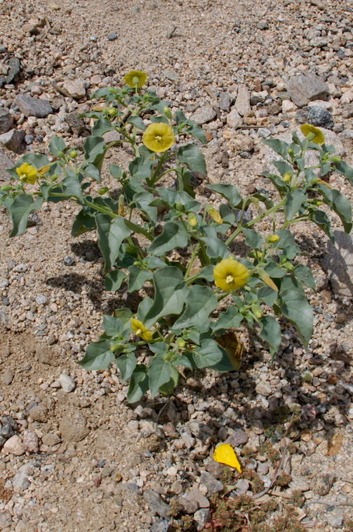 Physalis-hederifolia-ivy-leaved-tomatillo-Box-Canyon-Rd-S-of-Joshua-Tree-NP-2018-03-15-IMG 7562