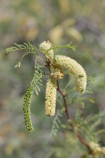 Prosopis-glandulosa-honey-mesquite-south-Joshua-Tree-NP-2017-03-24-IMG 4203