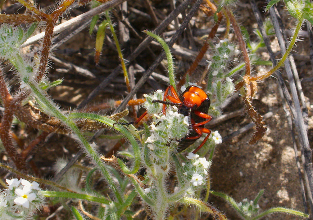 desert-blister-beetle-Lytta-magister-south-Joshua-Tree-NP-2017-03-24-IMG 7790