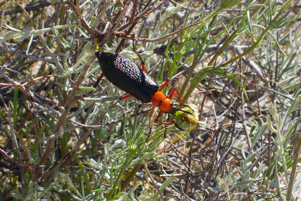 desert-blister-beetle-Lytta-magister-south-Joshua-Tree-NP-2017-03-24-IMG 7802