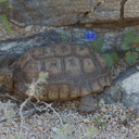 desert-tortoise-Gopherus-agassizii-south-Joshua-Tree-NP-2017-03-24-IMG 4234