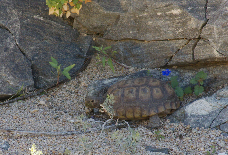 desert-tortoise-Gopherus-agassizii-south-Joshua-Tree-NP-2017-03-24-IMG_7709.jpg