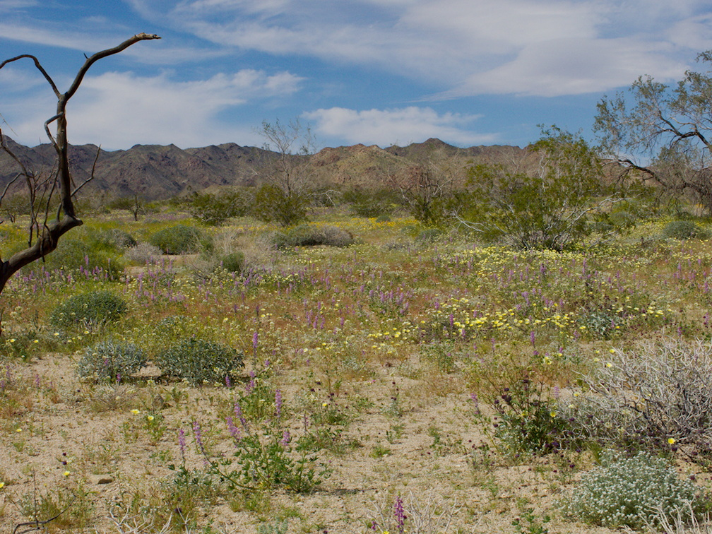 wildflower-field-at-S-park-entrance-Cottonwood-Canyon-Joshua-Tree-NP-2018-03-15-IMG 7580