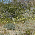 wildflower-field-at-S-park-entrance-Cottonwood-Canyon-Joshua-Tree-NP-2018-03-15-IMG 7583