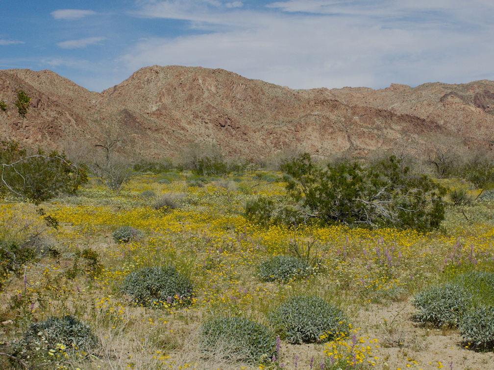 wildflower-field-at-S-park-entrance-Cottonwood-Canyon-Joshua-Tree-NP-2018-03-15-IMG 7584