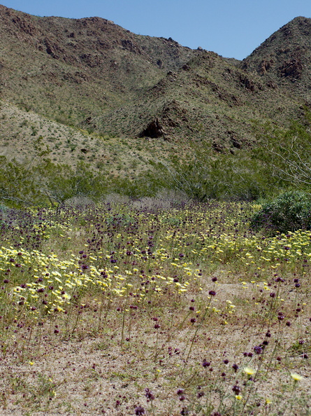wildflowers-carpeting-wash-scalebud-chia-sage-poppies-Cottonwood-Canyon-Joshua-Tree-NP-2017-03-14-IMG 7386