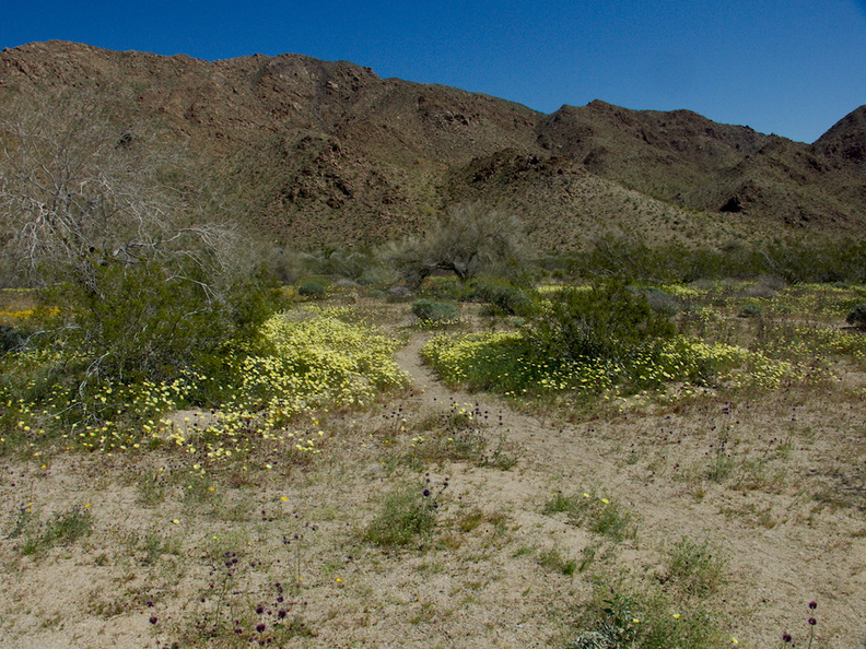 wildflowers-carpeting-wash-scalebud-chia-sage-poppies-Cottonwood-Canyon-Joshua-Tree-NP-2017-03-14-IMG 7391