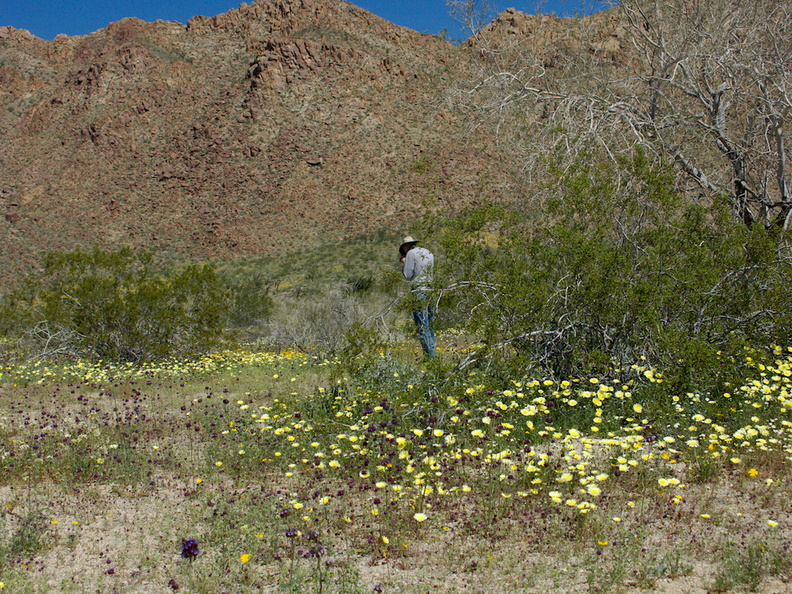 wildflowers-carpeting-wash-scalebud-chia-sage-poppies-Paul-photographing-Cottonwood-Canyon-Joshua-Tree-NP-2017-03-14-IMG 7389
