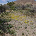 wildflowers-in-wash-near-Pinto-Basin-Rd-S-of-pass-Joshua-Tree-NP-2018-03-15-IMG 7498