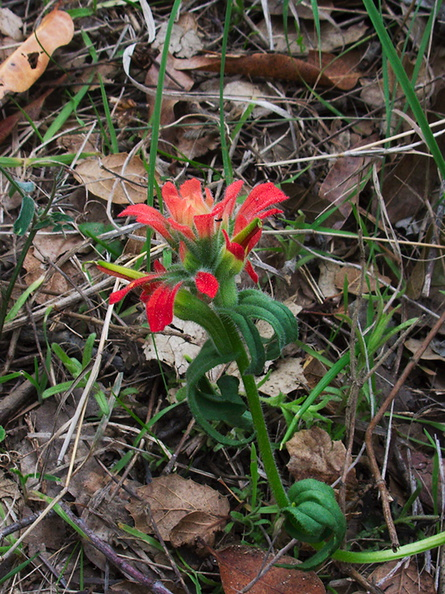 Castilleja-affinis-Indian-paintbrush-Valley-View-trail-Pfeiffer-Big-Sur-2011-01-02-IMG 0381