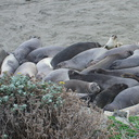 Elephant-Seal-Beach-2012-12-15-IMG 6961
