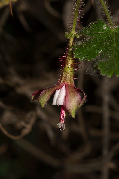 Ribes-californicum-gooseberry-Valley-View-trail-Pfeiffer-Big-Sur-2011-01-02-IMG 3793