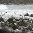 gulls-bathing-in-freshwater-creek-Willow-Creek-jade-beach-at-ocean-Big-Sur-2012-12-15-IMG 3101