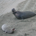 juvenile-male-and-female-duet-Elephant-Seal-Beach-2012-12-15-IMG 6964
