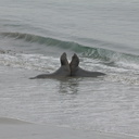 juveniles-playing-Elephant-Seal-Beach-2012-12-15-IMG 6983