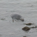male-swimming-Elephant-Seal-Beach-2012-12-15-IMG 6977