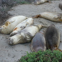 yearlings-taking-it-easy-Elephant-Seal-Beach-2012-12-15-IMG 6960