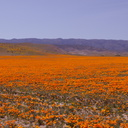 California-poppy-fields-along-Rte138-2014-04-20-IMG 3562