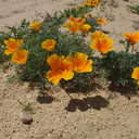 Eschscholtzia-californica-poppies-170thStW-2014-04-20-IMG 3584