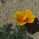 Eschscholtzia-californica-with-staminodia-170thStW-2014-04-20-IMG 3582