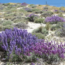 Lupinus-excubitus-Inyo-bush-lupine-Gorman-Post-Rd-2010-04-23-IMG 4449