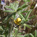 yellow-flower-spider-on-lupine-Gorman-Post-Rd-2010-04-23-IMG 4443