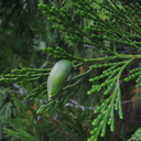 Calocedrus-decurrens-incense-cedar-Sheep-Creek-2008-07-20-img 0419