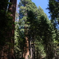 Sequoiadendron-giganteum-Redwood-Canyon-2008-07-24-CRW_7690.jpg
