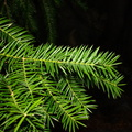 Torreya-californica-stinking-cedar-Boyden-Cave-parking-lot-2008-07-22-CRW_7589.jpg