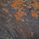 lichens-crustose-rust-Xanthoparmelia-nr-cave-entrance-2008-07-22-img 0679