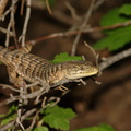 lizard-Lewis-Creek-2008-07-25-CRW_7713.jpg
