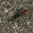 russet-wasp-Kings-Canyon-2008-07-20-img 0403