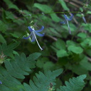 Asyneuma-prenanthoides-Campanula-California-harebell-road-to-Crescent-Meadow-SequoiaNP-2012-07-31-IMG 2423