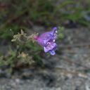 Penstemon-sp-gracilentus-Kings-Canyon-2012-07-09-IMG 6192