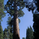 Sequoiadendron-giganteum-giant-redwood-General-Grant-Grove-Kings-Canyon-2012-07-05-IMG 5881