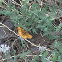 fritillary-butterfly-Heather-Lake-trail-SequoiaNP-2012-08-02-IMG 6650