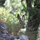mule-deer-Bubbs-Creek-trail-Kings-CanyonNP-2012-07-08-IMG 6146