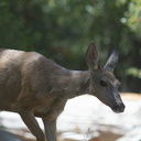 mule-deer-Bubbs-Creek-trail-Kings-CanyonNP-2012-07-08-IMG 6147