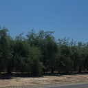 olive-farm-Central-Valley-SW-of-Kings-Canyon-2012-07-09-IMG 6197